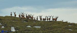 Ecosse - Red deers