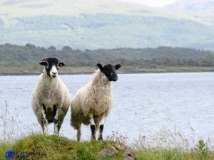 Moutons-Ecosse-Highlands