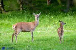 Biche et son faon - Argyll - Ecosse