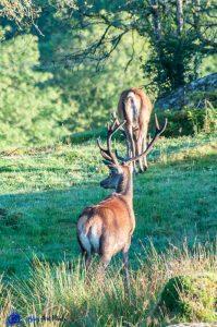Cerfs (Red Deers) - Argyll - Ecosse