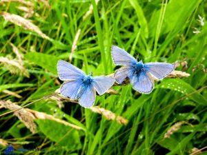 Ecosse - Papillons bleus