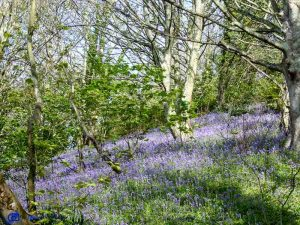 Bluebell wood - Jersey