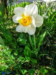 Bourgogne - Narcisse