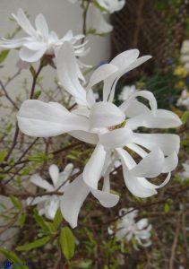 Magnolia Stellatta