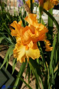 Iris - Provence