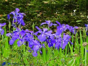 Iris - Ecosse