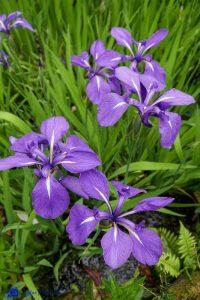 Iris- Ecosse