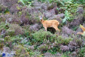 Ecosse - Red deer