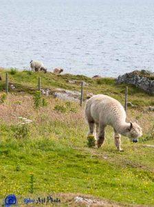 Alpaga - Ecosse - Islay