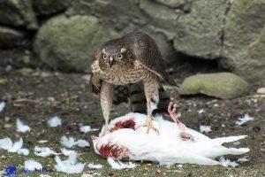 Rapace et colombe