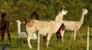 Alpagas - Ecosse - Kintyre