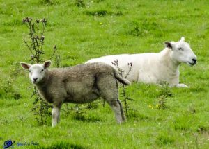 Moutons - Ecosse