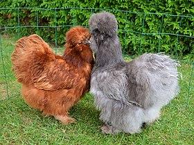 Poules soie - source Wikipédia