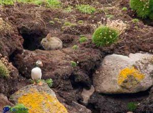 Macareux et lapin
