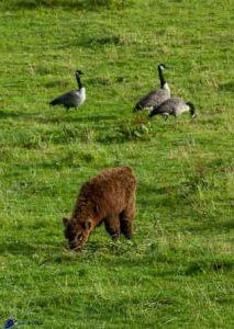 Veau Highland - Bernaches
