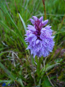 Ecosse - Orchidée sauvage