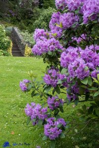 Ecosse - Armadale castle - Rhododendron