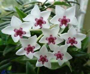Hoya - Fleur de porcelaine