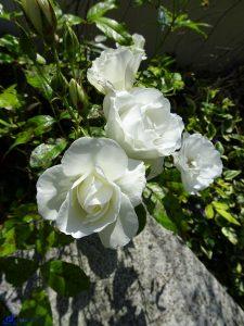 France - Roses