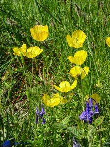 Ecosse - Pavots jaunes et jacinthes sauvages