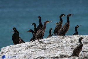 Ecosse - Cormorans