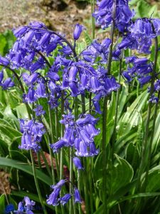 Ecosse - Bluebell