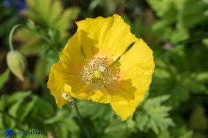 Ecosse - Pavot jaune