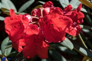 Ecosse - Rhododendron