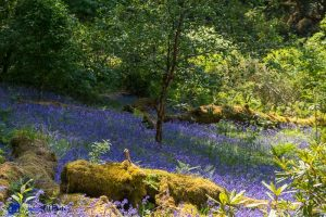Ecosse - Bluebell wood