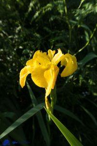 Ecosse - Iris sauvage